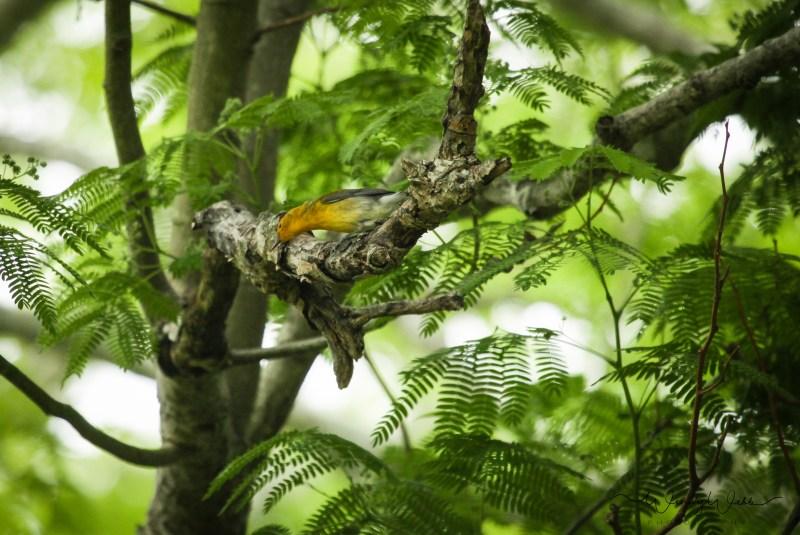 Prothonatory Warbler 13