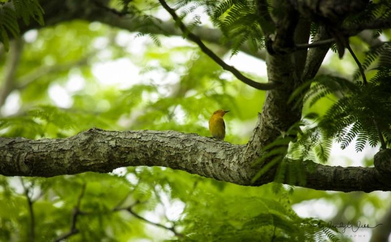 Prothonatory Warbler 14