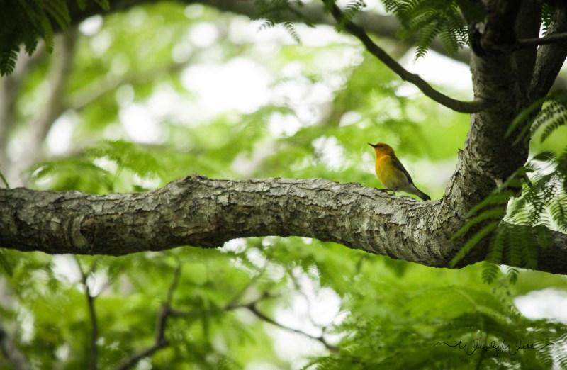 Prothonatory Warbler 18