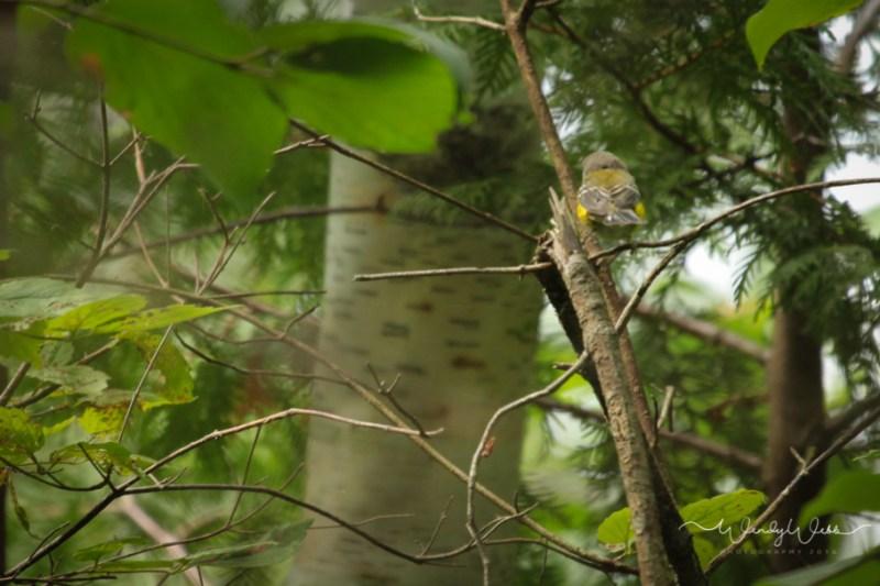 Warbler, Magnolia_
