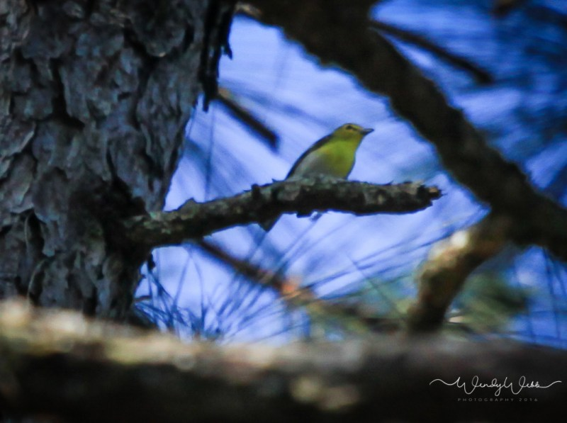 Yellow Throated Vireo 2