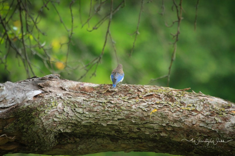 blue Bird in apple tree - 2
