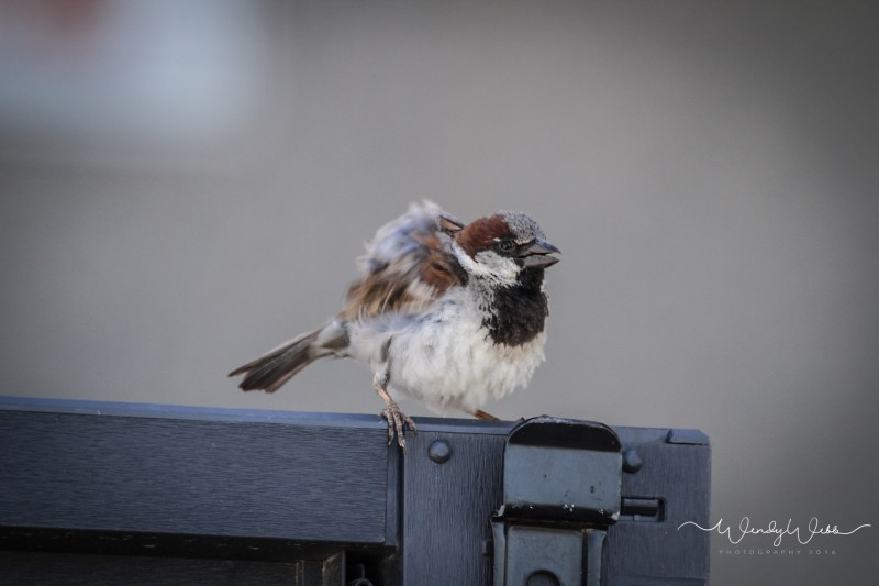 house sparrow - 1