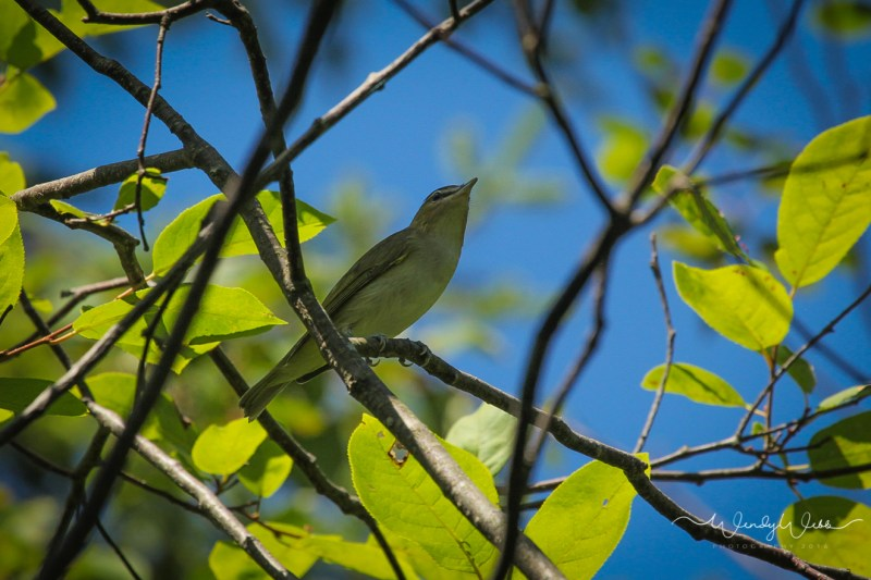 red eyed vireo_-2