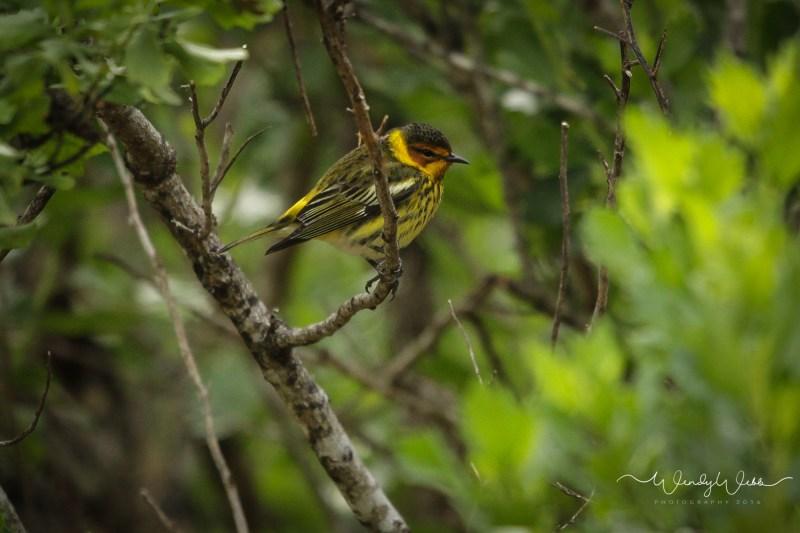 warbler in bush09