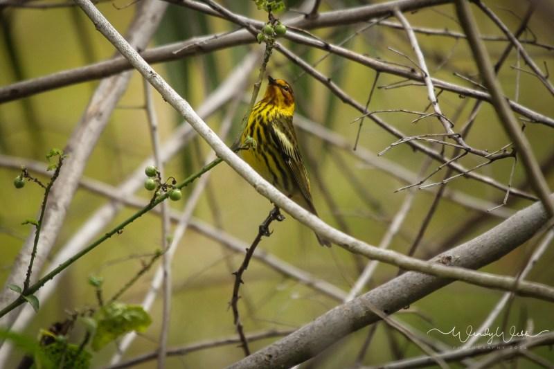 warbler in bush14