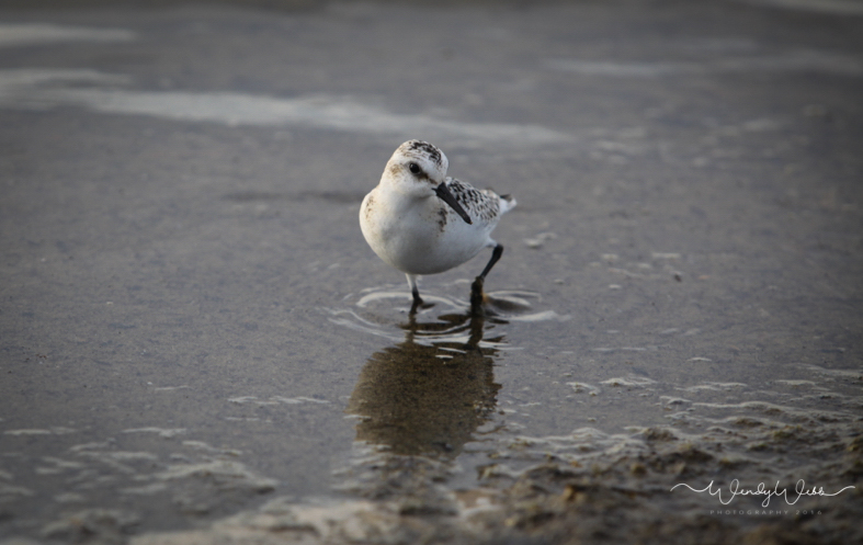 sanderling-1-2