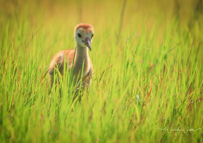 sandhill-crane-09