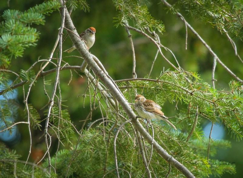 tree-sparrows-1
