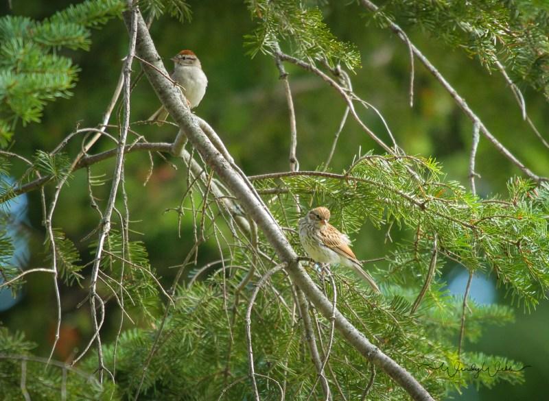 tree-sparrows-3