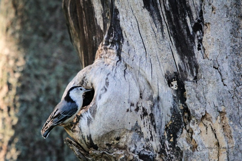white-breasted-nuthatch-5