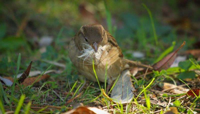 house-sparrow-6