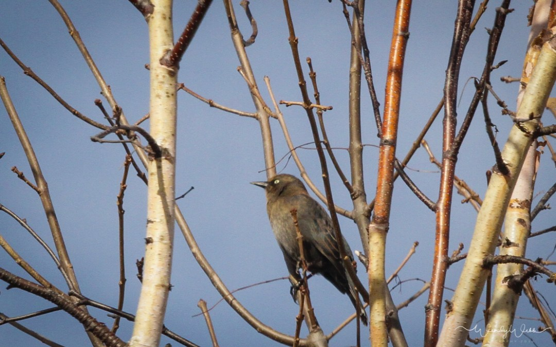 Rusty Blackbird #176