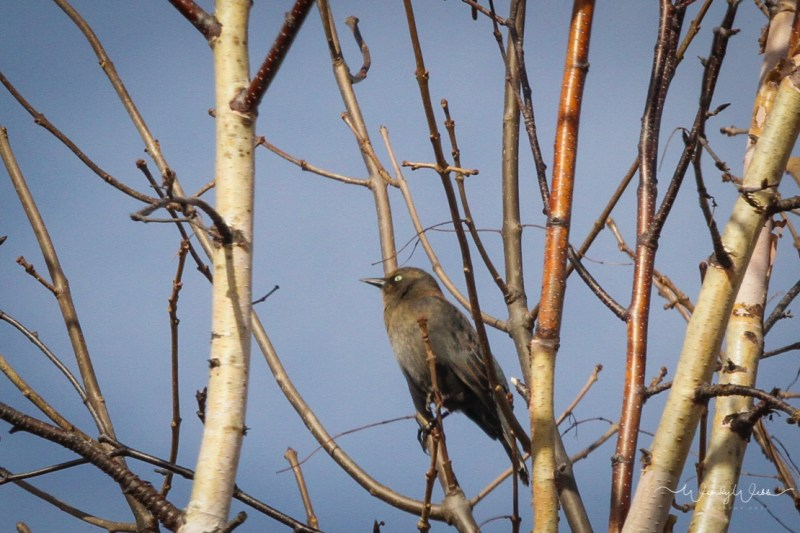 rusty-blackbird-103