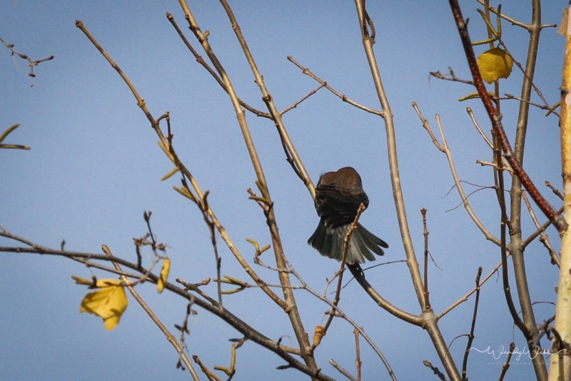 rusty-blackbird-105