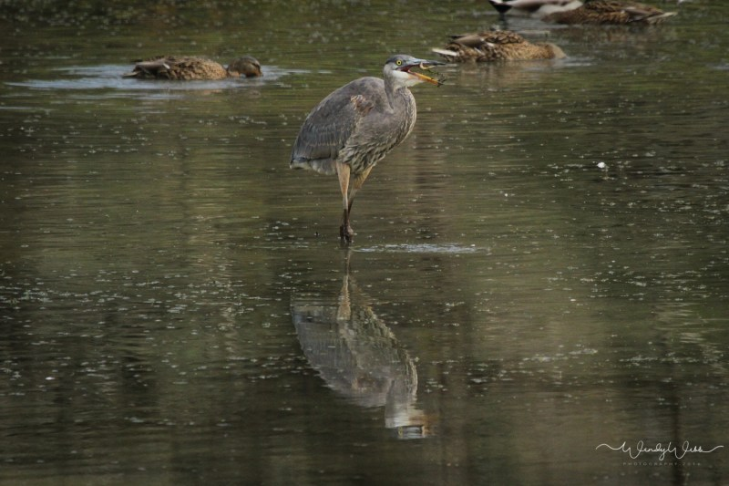 heron-fishing-108