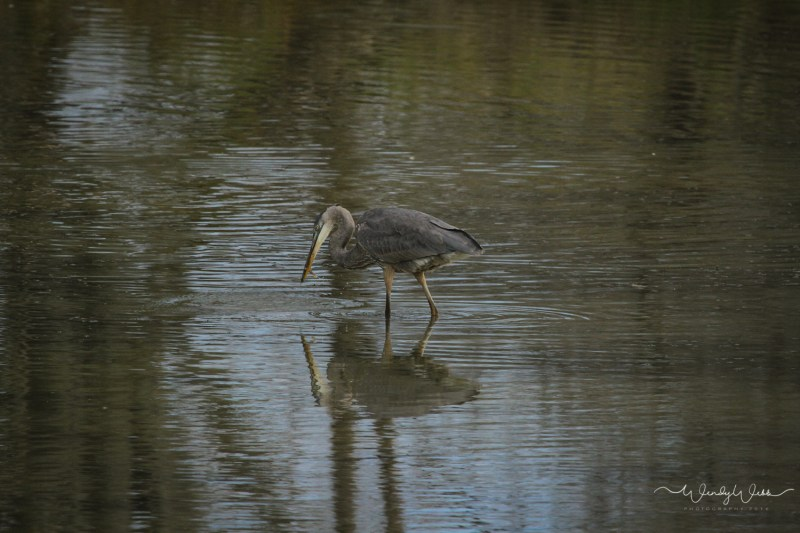 heron-fishing-109