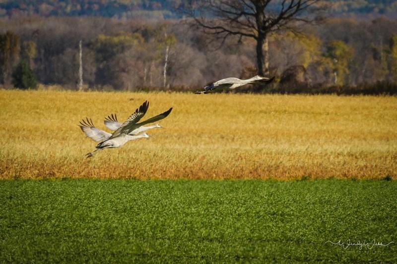 sandhill-flock-107