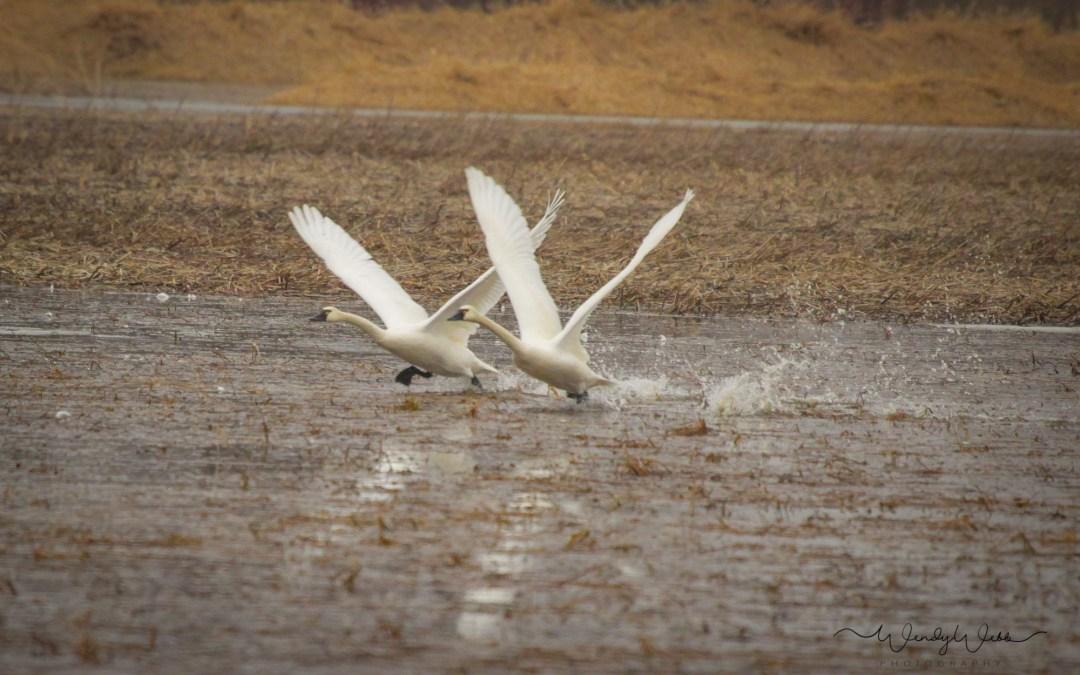 Tundra Swans #144