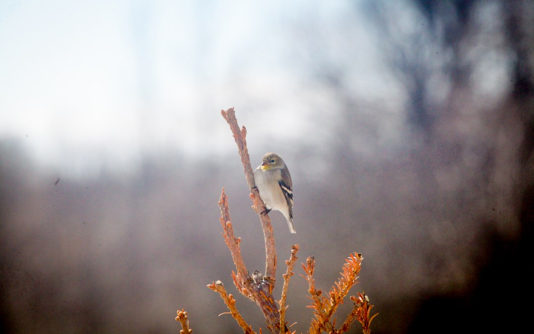 Goldfinch – colour is coming