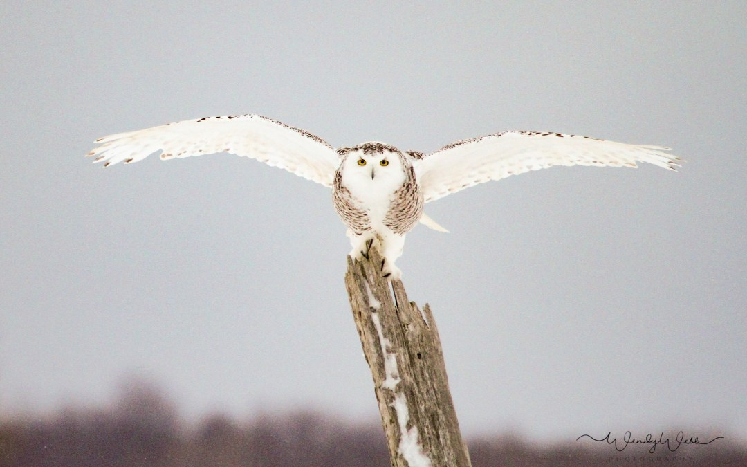 One last snow squall… snowy owl landing on a post