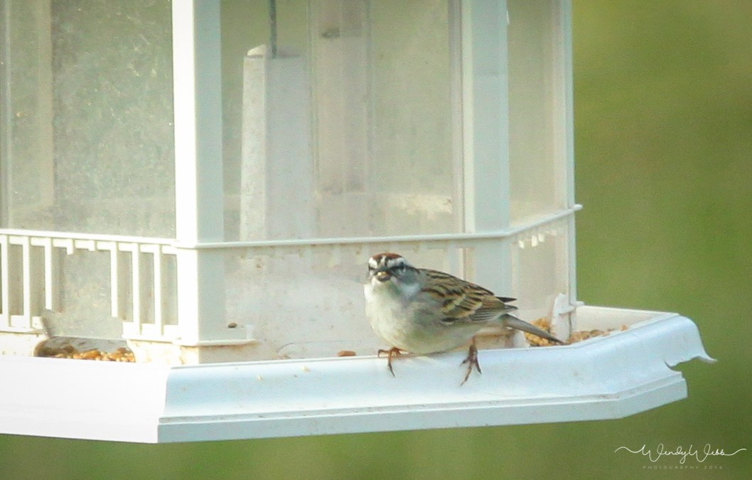 Chipping Sparrow looking at my focus beam?