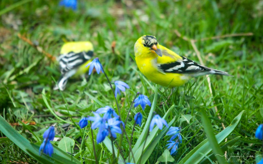 American Goldfinches in the Bluebells