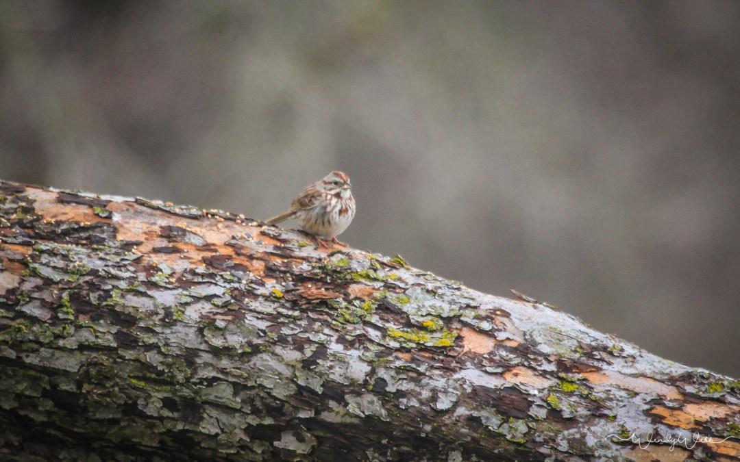 Song Sparrow #177  – finally a new bird!