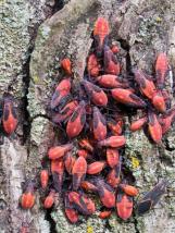 box-elder-bug-larva
