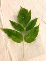 box-elder-leaves