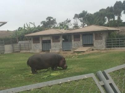 Hippopotamus at the zoo