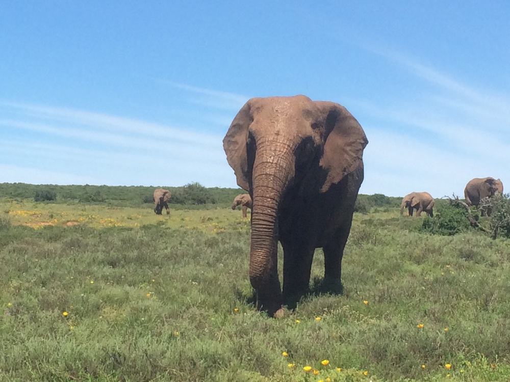 Elephant without tusks in Addo Elephant National Park