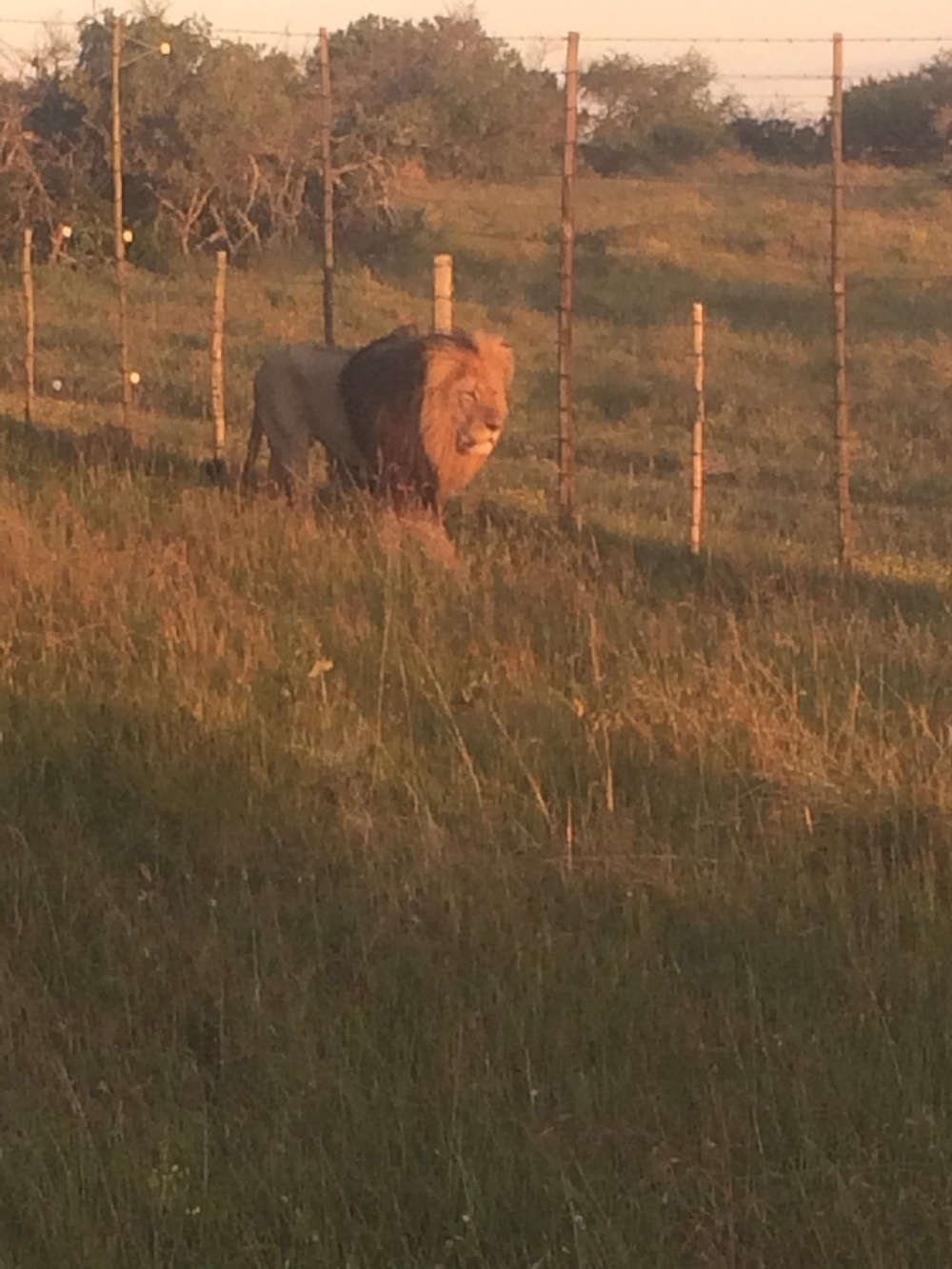 The Lions were following the fence at Schotia Safaris. Sometimes the lions from Addo come to visit on the other side of the fence