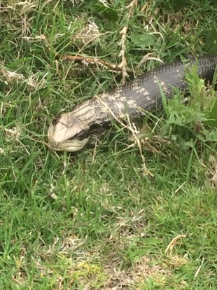 Hannah came across this blue-tongued lizard near Batemans Marine Park. We got to touch one at the Taronga Zoo.