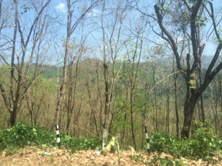 Rubber trees. Although we passed a lot of rubber plantations on the way to Kumily, we didn't stop to tour one.