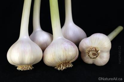 Ail Garlic - Music - Bulbes en bâton - natureail.ca
