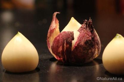 Ail Garlic - Persian Star - Rond pelure craquante