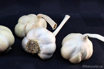 Ail du Québec Garlic - Silver Rose - Bulbes