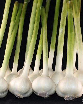 Ail Garlic - Leningrad - Bâtons