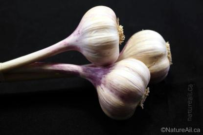 Ail Garlic - Chesnok Red - Bulbes Trio