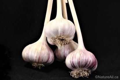 Ail Garlic - Red Rezan - Bulbes