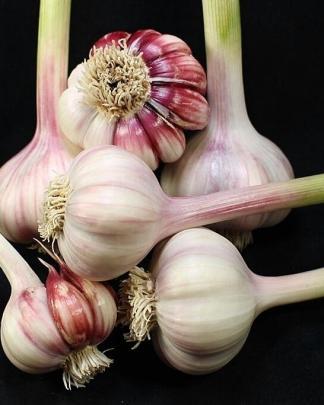 Ail Garlic - Barcelona Red Spanish - Bulbes et Caïeux