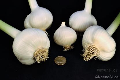Ail Garlic - Elephant - Bulbes et Rond - natureail.ca