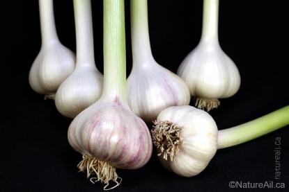 Ail Garlic - Siberian - Bulbes