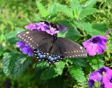 Black Swallowtail on Verbena