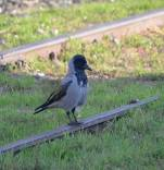 Crow-bird