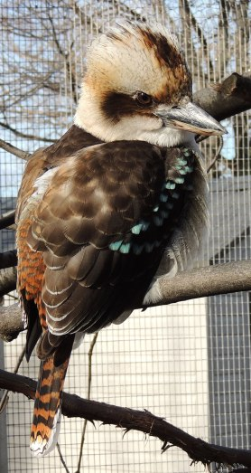 Laughing-Kookaburra-1