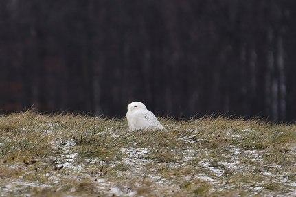 Owl-in-Field-2