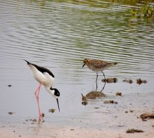 Plover-and-Ae'o