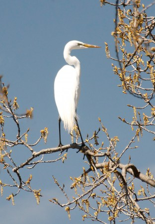 Great-Egret-in-Tree-1